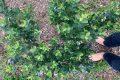 【湘南・平塚に裸⾜で遊べるオーガニック・ブルーベリー園をつくりたい!】